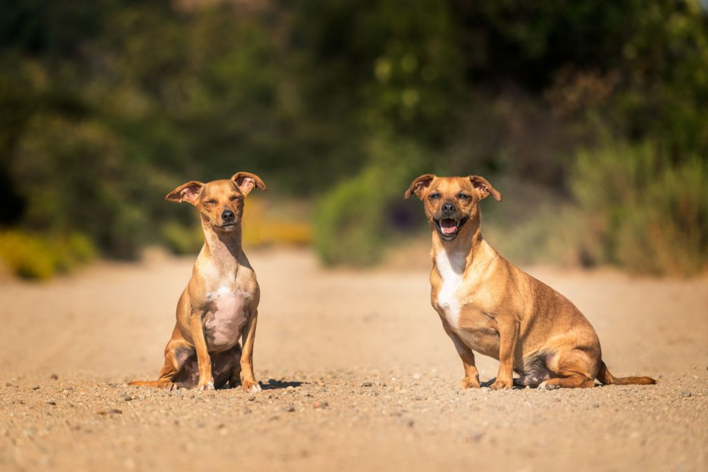 Two happy pups bask in the sun on a clear dirt road.