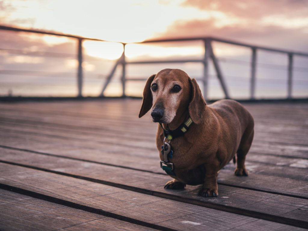 A stocky dachshund walks a pier in front of a sunset.